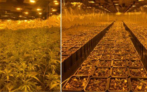 5500 plants de cannabis et 60.050€ de marijuana saisis