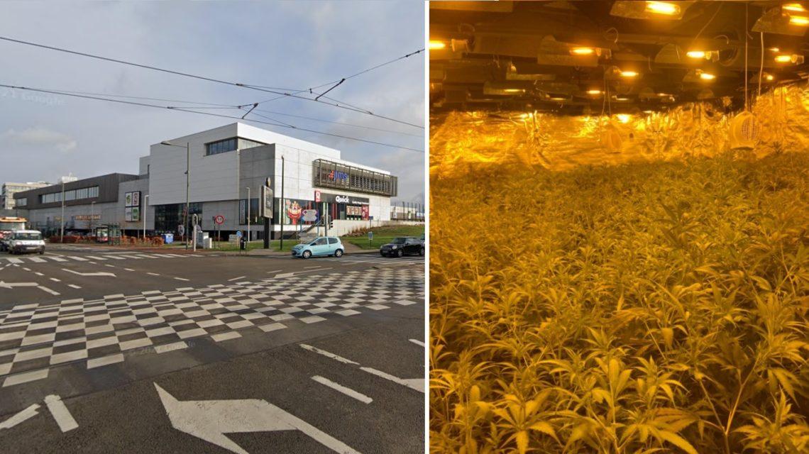 Destruction de 100 kilos de cannabis à Haeren